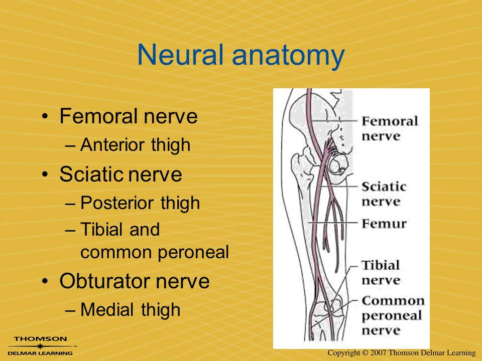 Neural anatomy Femoral nerve Sciatic nerve Obturator nerve