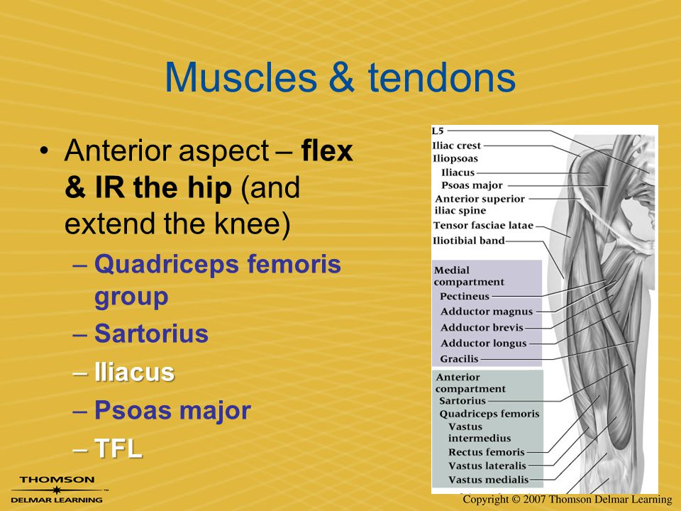 Muscles & tendons Anterior aspect – flex & IR the hip (and extend the knee) Quadriceps femoris group.