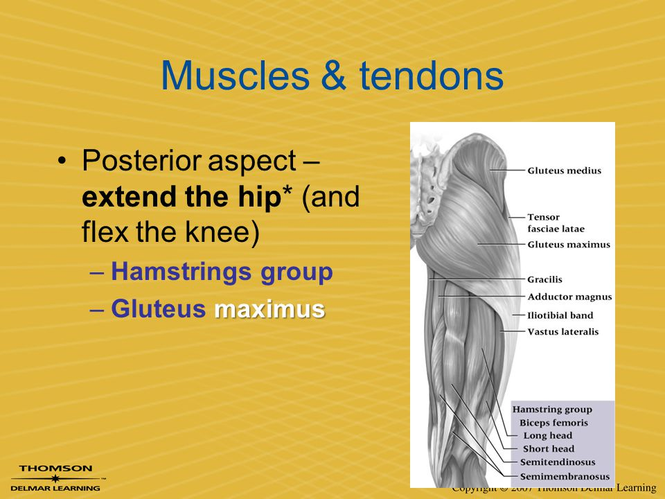 Muscles & tendons Posterior aspect – extend the hip* (and flex the knee) Hamstrings group.