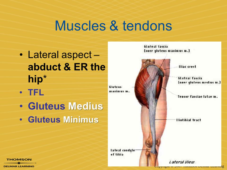 Muscles & tendons Lateral aspect – abduct & ER the hip* Gluteus Medius