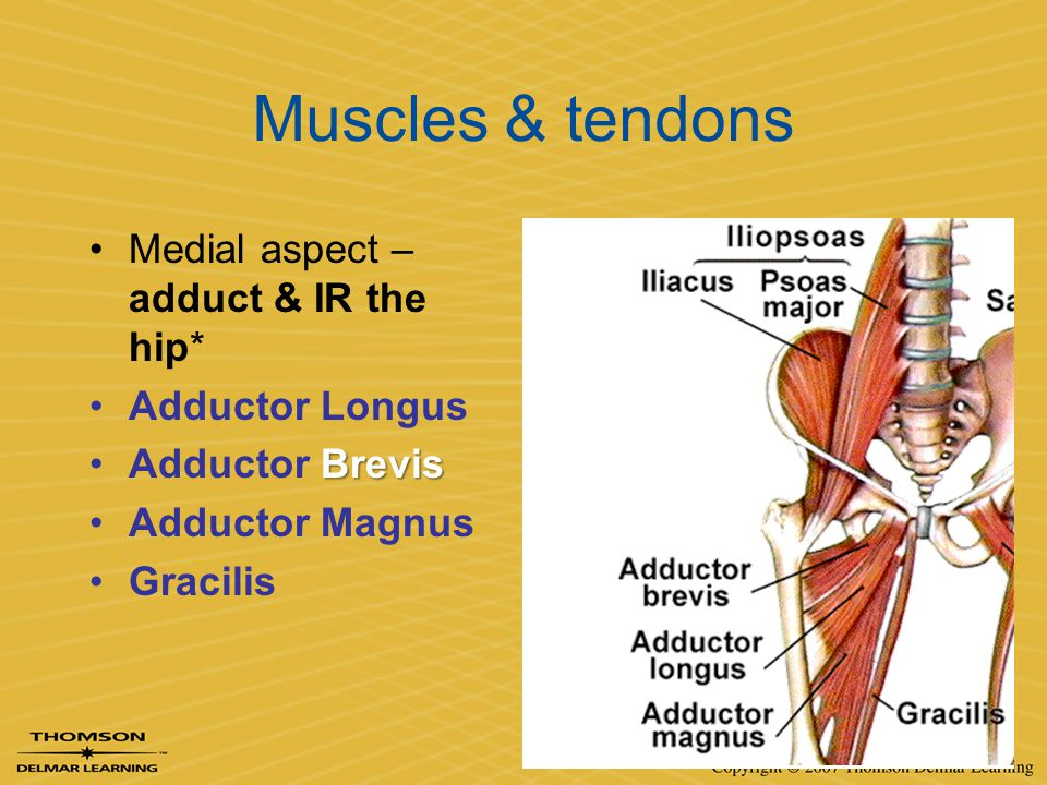 Muscles & tendons Medial aspect – adduct & IR the hip* Adductor Longus