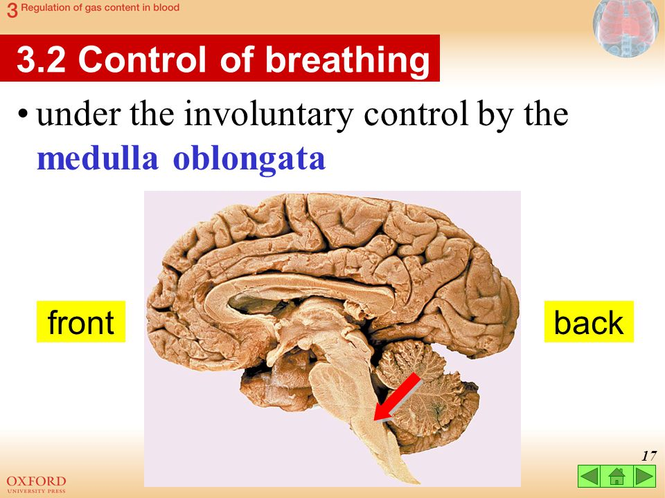 under the involuntary control by the medulla oblongata