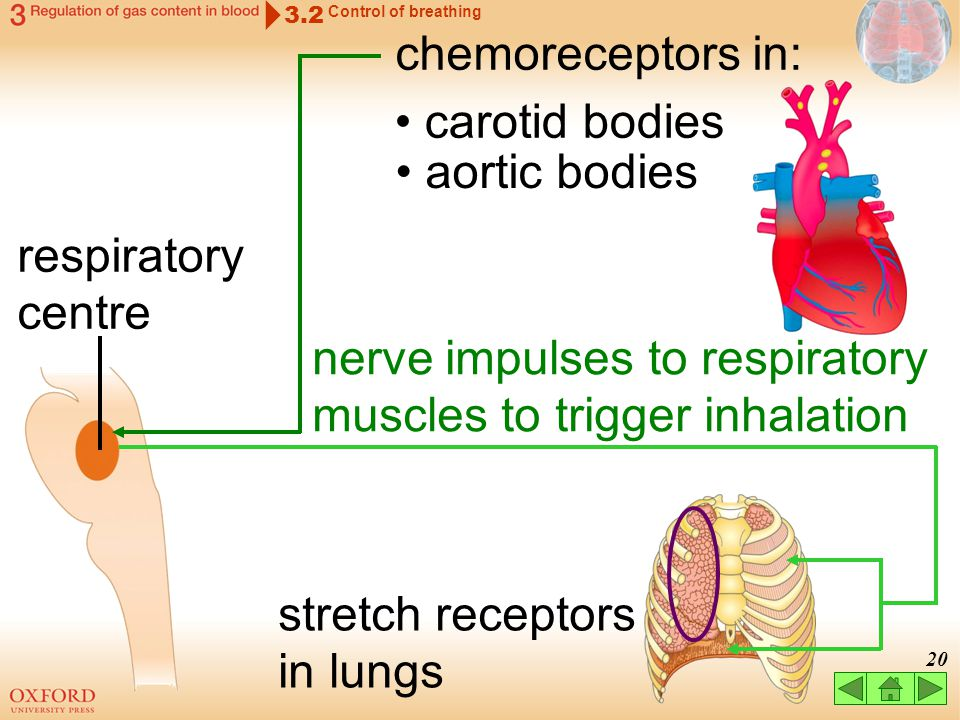 nerve impulses to respiratory muscles to trigger inhalation