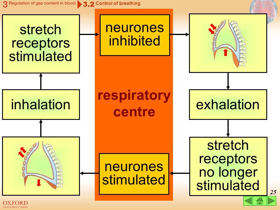 stretch receptors stimulated neurones inhibited