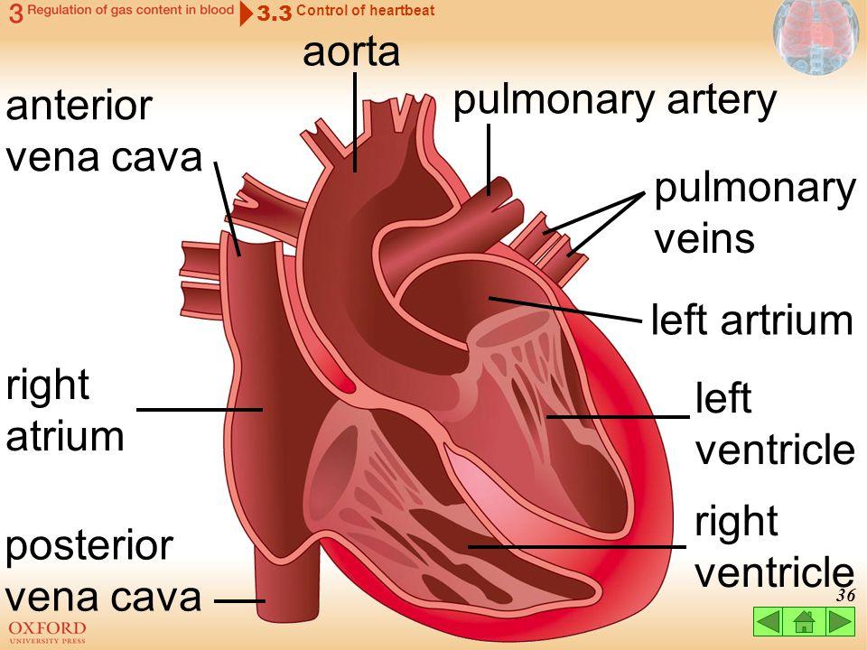 aorta pulmonary artery anterior vena cava pulmonary veins left artrium
