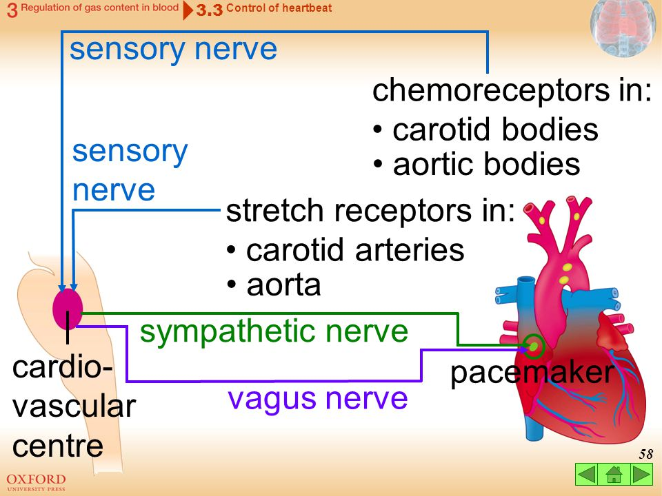 cardio-vascular centre pacemaker vagus nerve