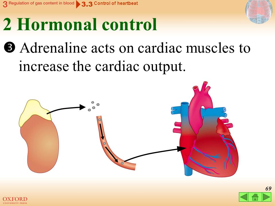 3.3 Control of heartbeat. 2 Hormonal control.
