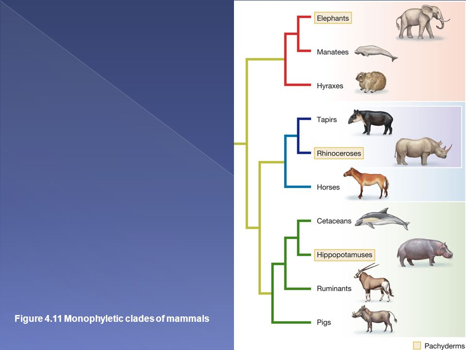 Figure 4.11 Monophyletic clades of mammals