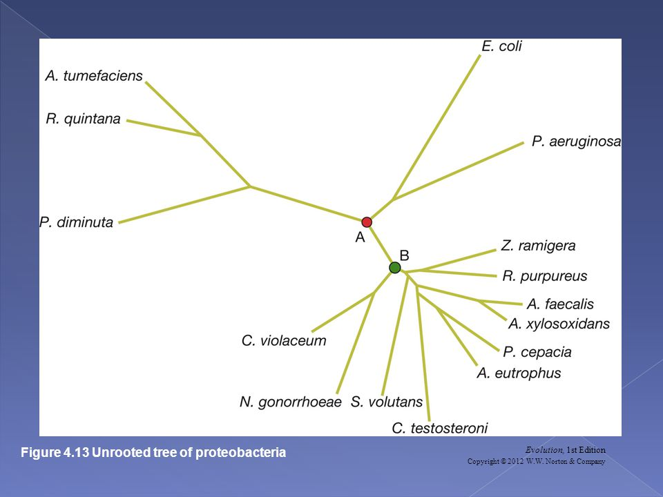 Figure 4.13 Unrooted tree of proteobacteria