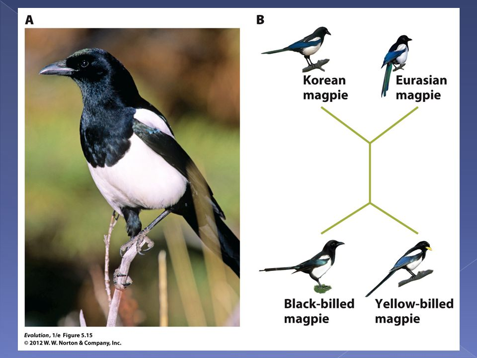 Figure 5.15 Phylogeny of magpie populations.