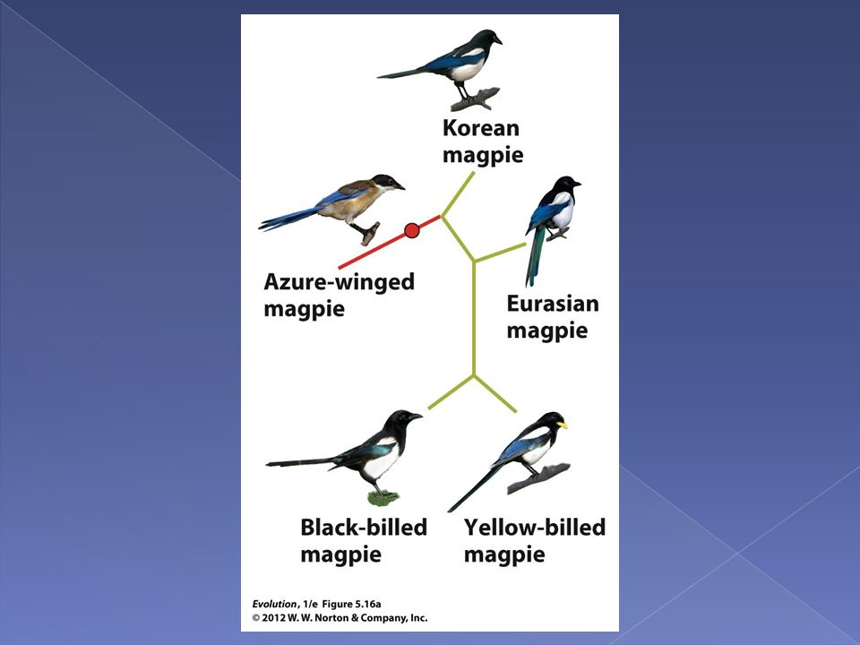 Figure 5.16a Rooting the magpie phylogeny using an outgroup.