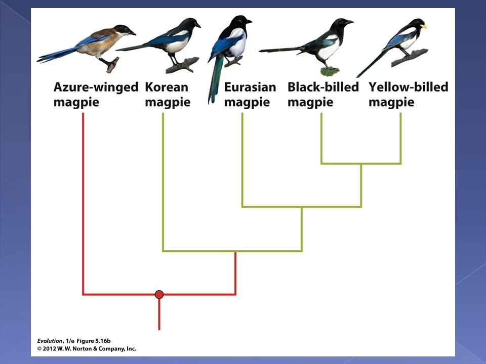 Figure 5.16b Rooting the magpie phylogeny using an outgroup.