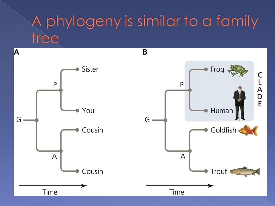 A phylogeny is similar to a family tree