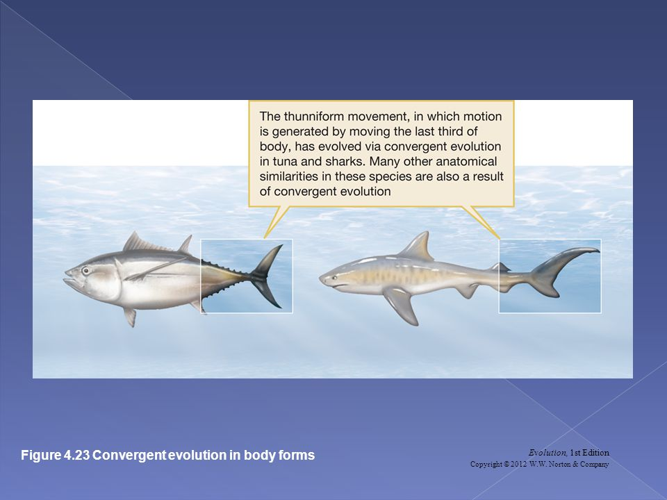 Figure 4.23 Convergent evolution in body forms