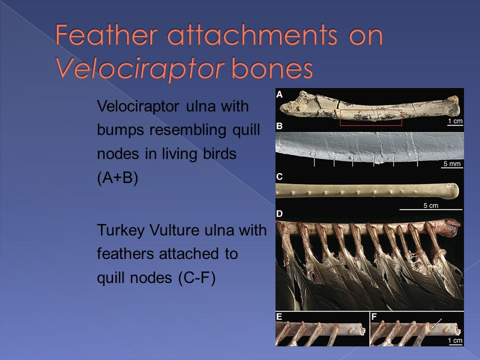 Feather attachments on Velociraptor bones