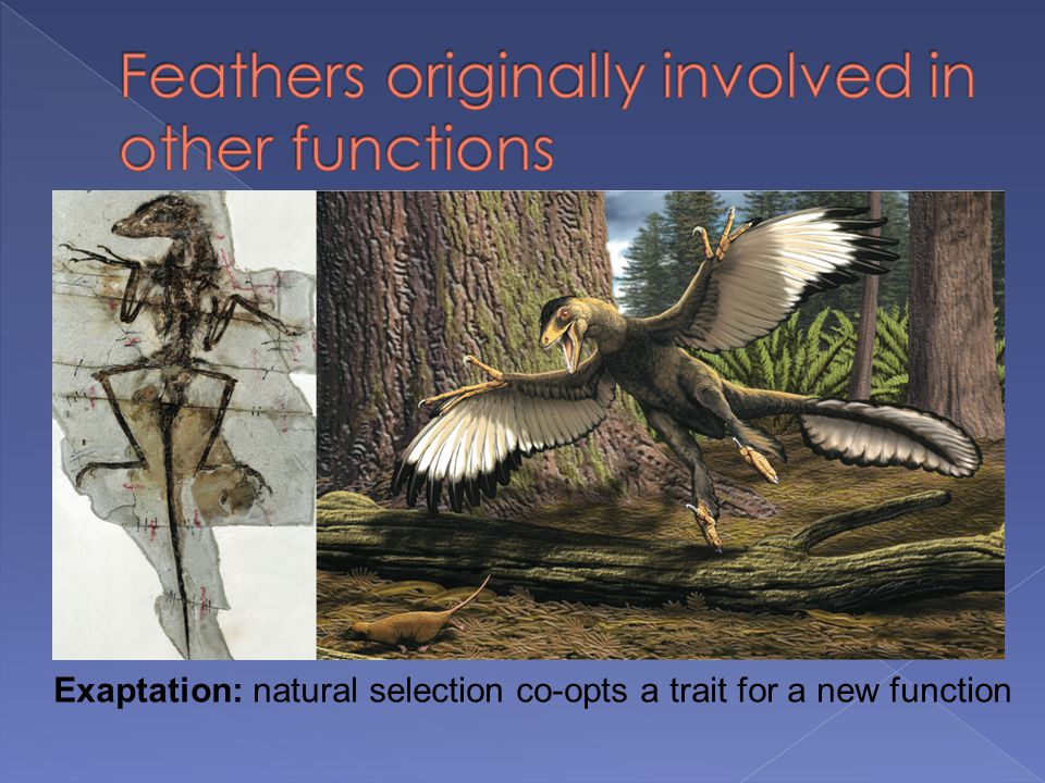 Feathers originally involved in other functions