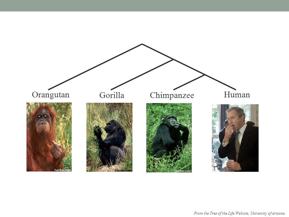 Orangutan Gorilla Chimpanzee Human