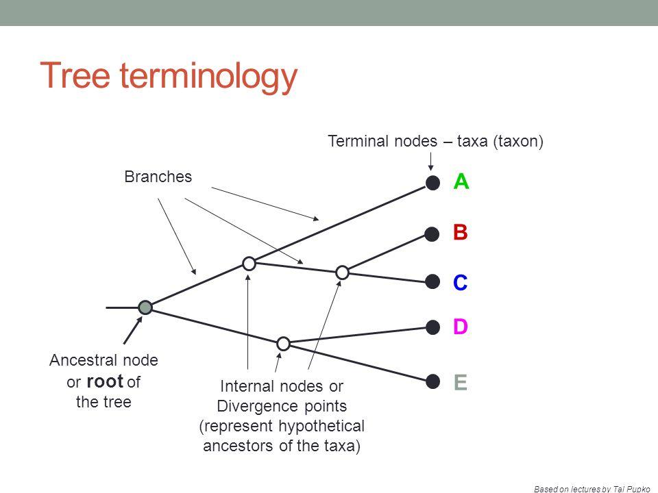 Tree terminology A B C D E Terminal nodes – taxa (taxon) Branches