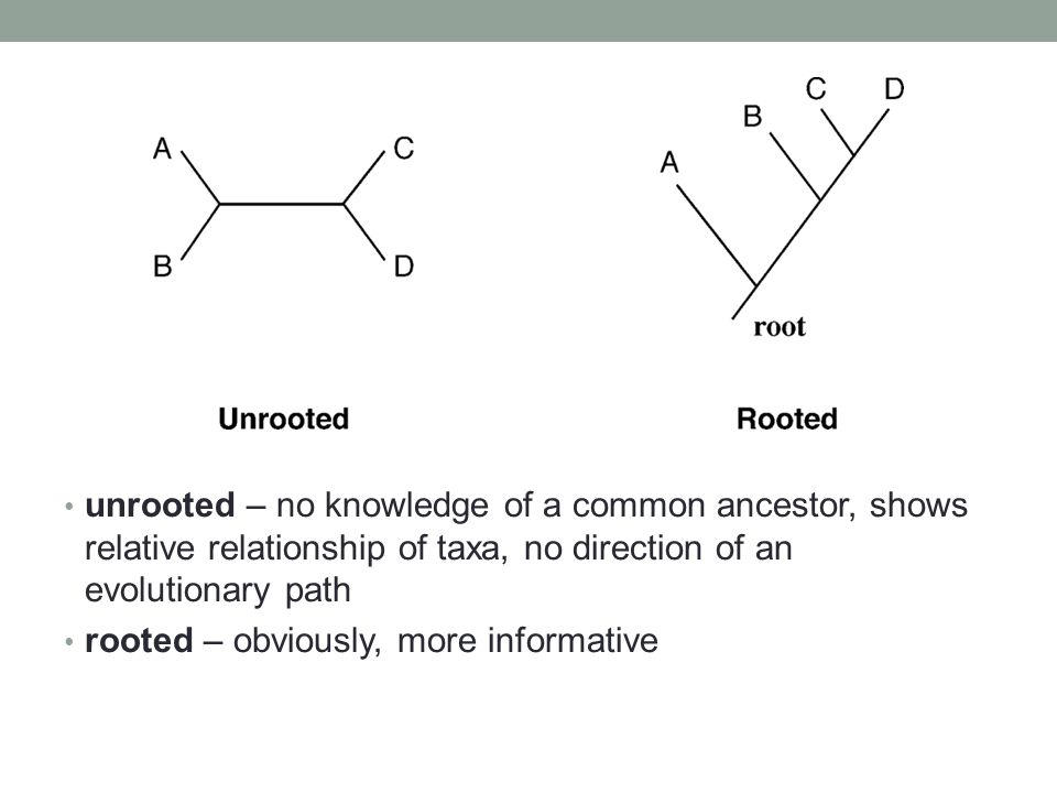 unrooted – no knowledge of a common ancestor, shows relative relationship of taxa, no direction of an evolutionary path