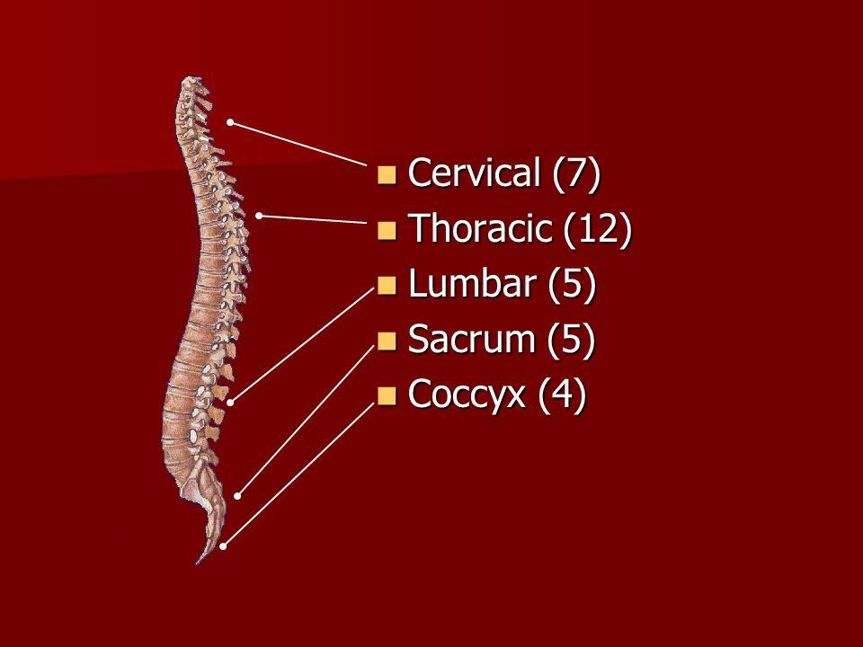 Cervical (7) Thoracic (12) Lumbar (5) Sacrum (5) Coccyx (4)