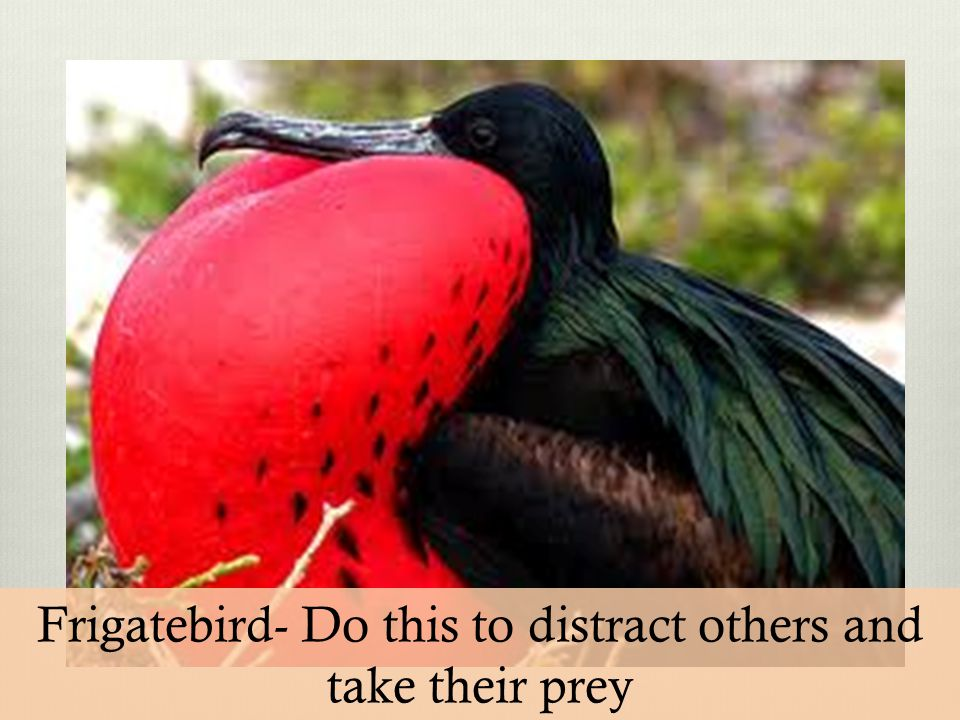 Frigatebird- Do this to distract others and take their prey