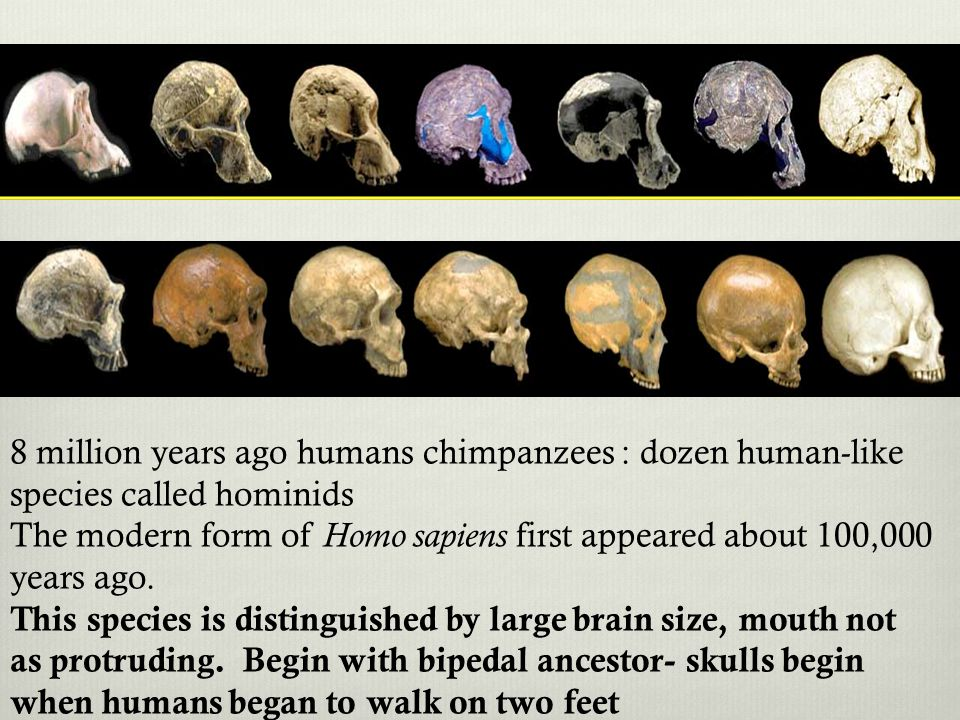 8 million years ago humans chimpanzees : dozen human-like species called hominids