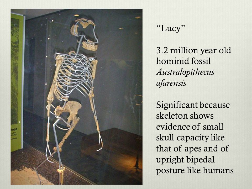 Lucy 3.2 million year old hominid fossil. Australopithecus afarensis.