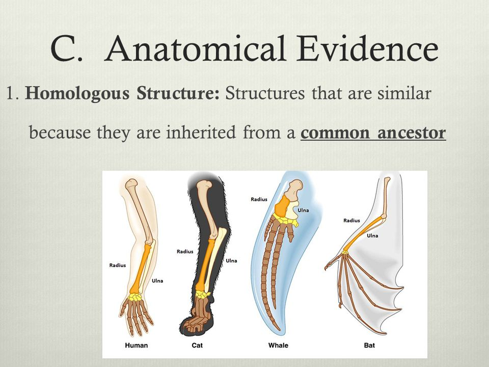 C. Anatomical Evidence 1.