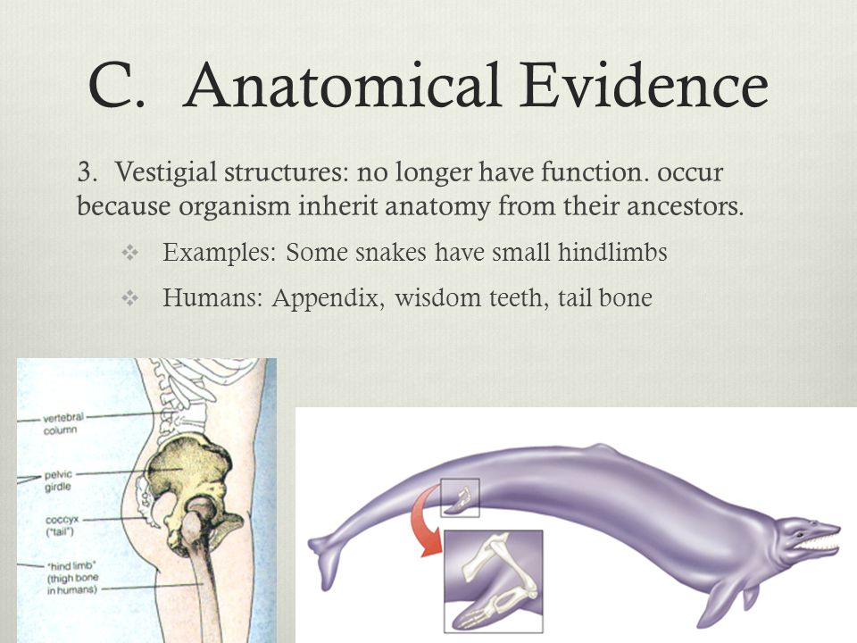 C. Anatomical Evidence 3. Vestigial structures: no longer have function. occur because organism inherit anatomy from their ancestors.