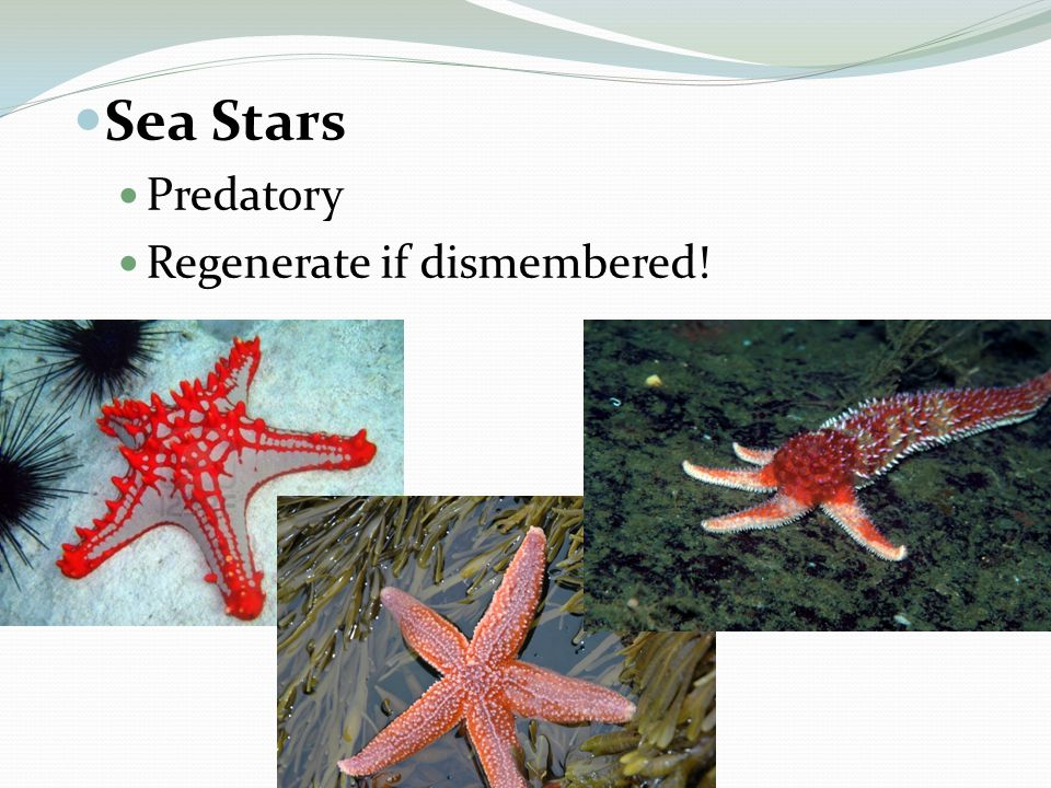 Sea Stars Predatory Regenerate if dismembered!