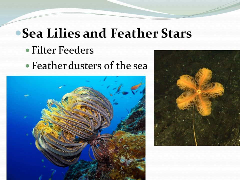 Sea Lilies and Feather Stars