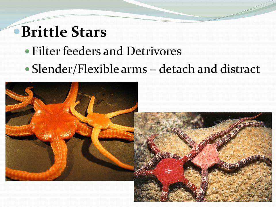 Brittle Stars Filter feeders and Detrivores