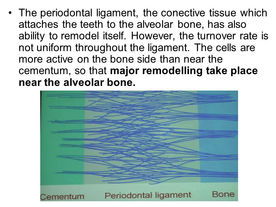 The periodontal ligament, the conective tissue which attaches the teeth to the alveolar bone, has also ability to remodel itself.