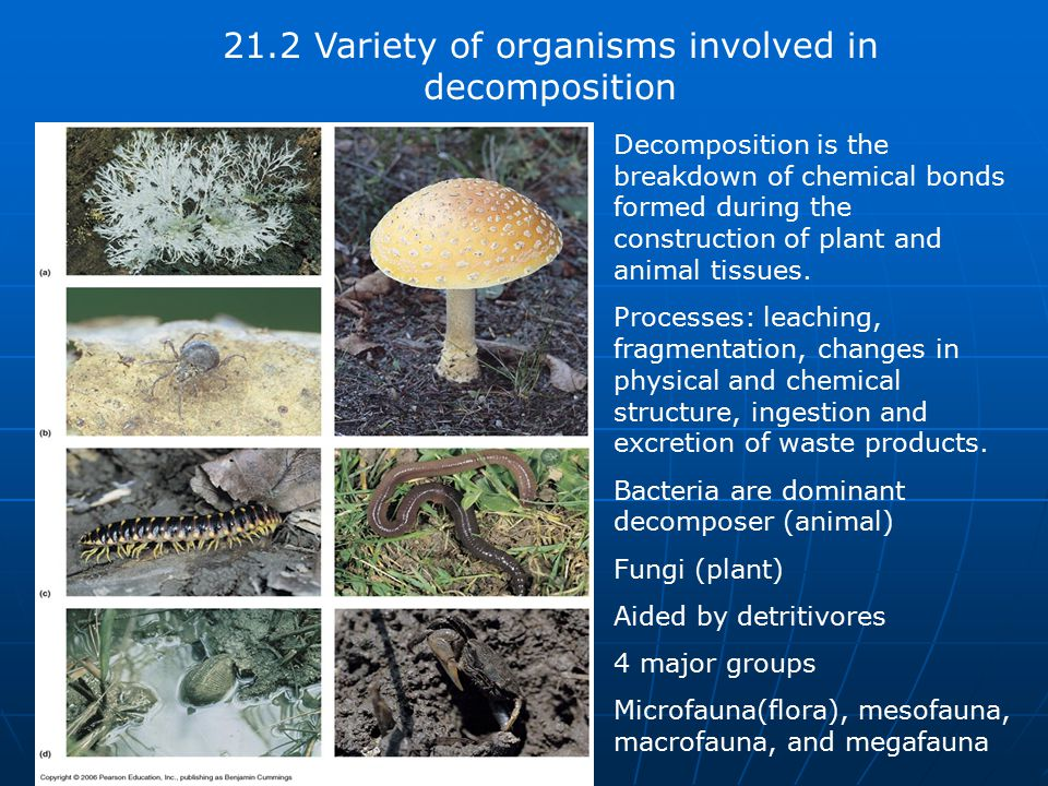 21.2 Variety of organisms involved in decomposition