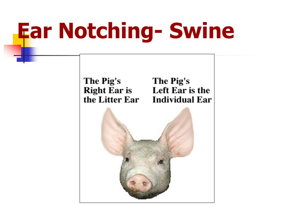 Ear Notching- Swine