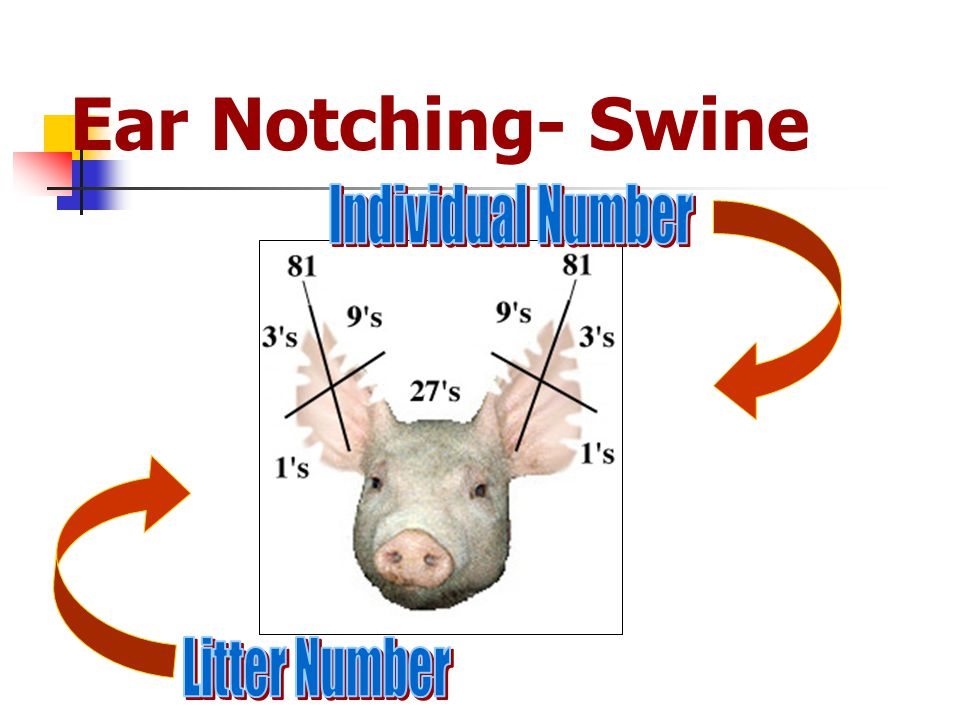 Ear Notching- Swine Individual Number Litter Number