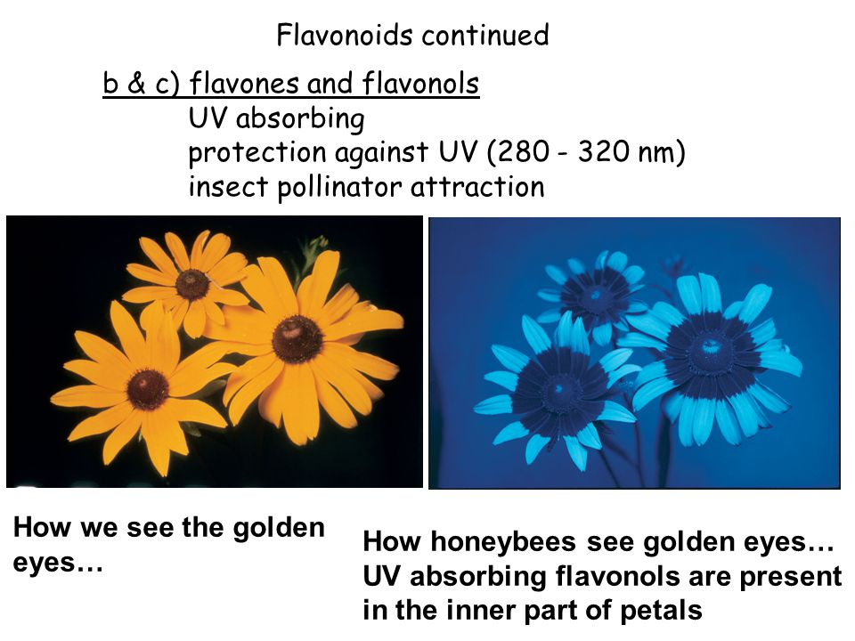 Flavonoids continued b & c) flavones and flavonols. UV absorbing. protection against UV (280 - 320 nm)