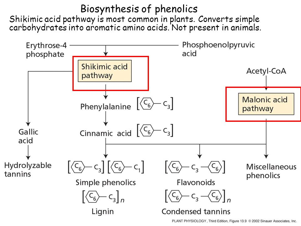 Biosynthesis of phenolics