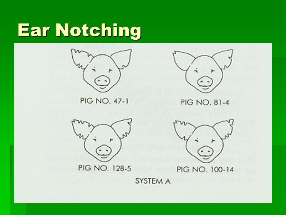 Ear Notching