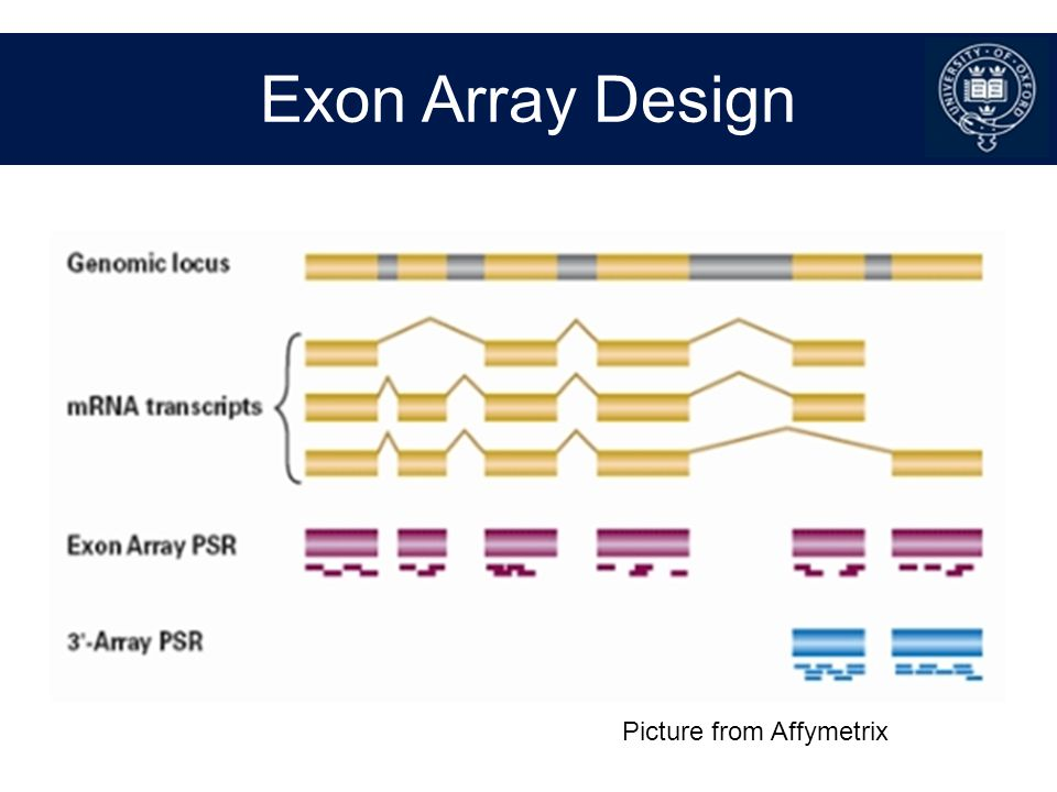 Exon Array Design Picture from Affymetrix