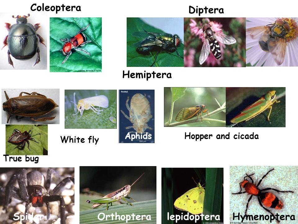 Coleoptera Diptera Hemiptera Spider Orthoptera lepidoptera Hymenoptera