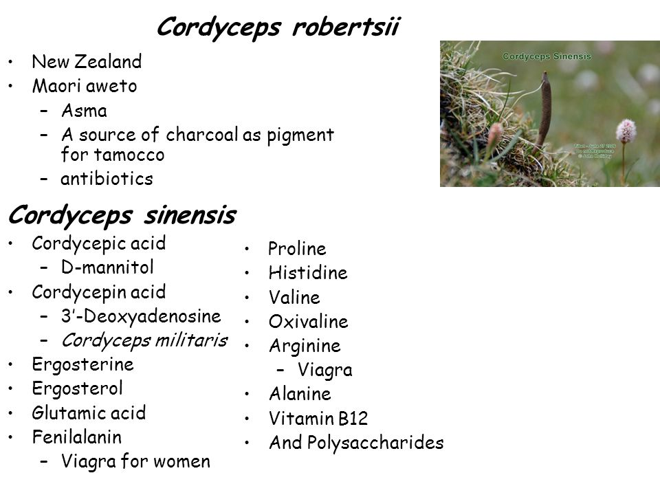 Cordyceps robertsii Cordyceps sinensis New Zealand Maori aweto Asma