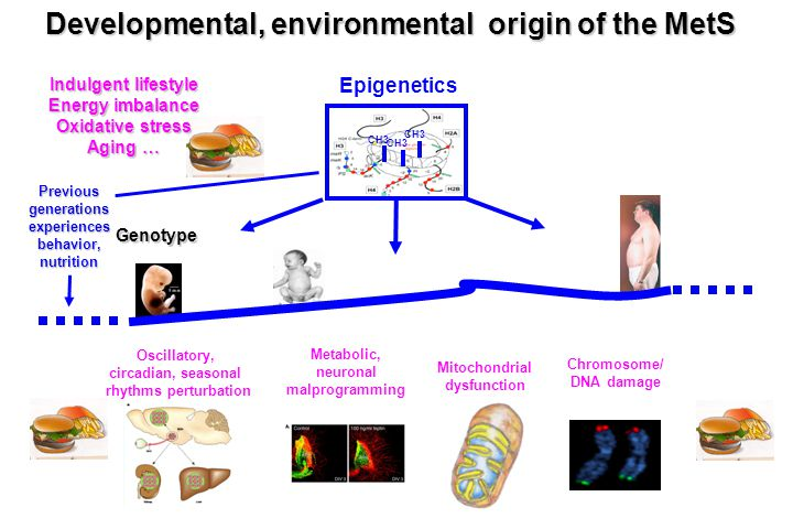 Developmental, environmental origin of the MetS