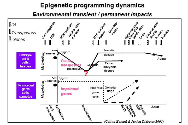 Epigenetic programming dynamics