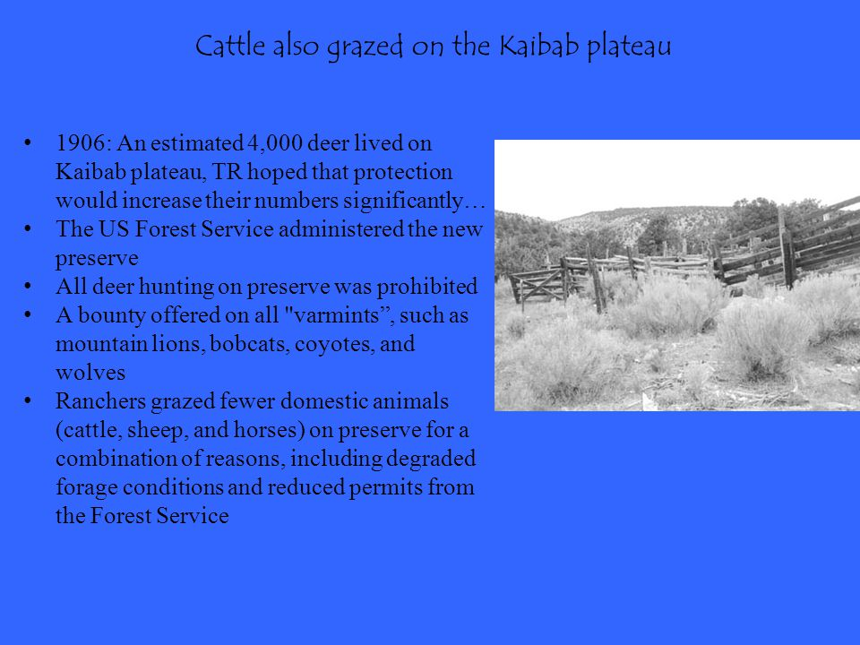 Cattle also grazed on the Kaibab plateau
