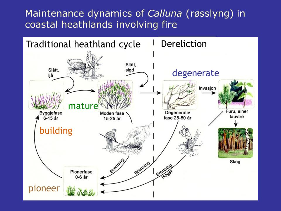 Maintenance dynamics of Calluna (røsslyng) in coastal heathlands involving fire