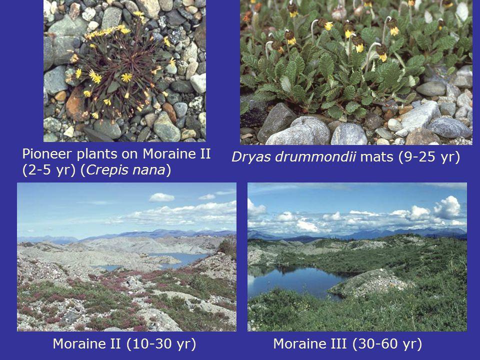Dryas drummondii mats (9-25 yr)