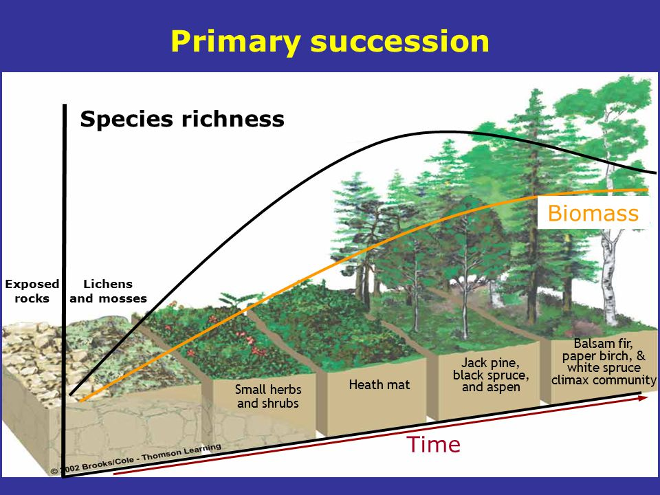Primary succession Species richness Biomass Time Balsam fir,
