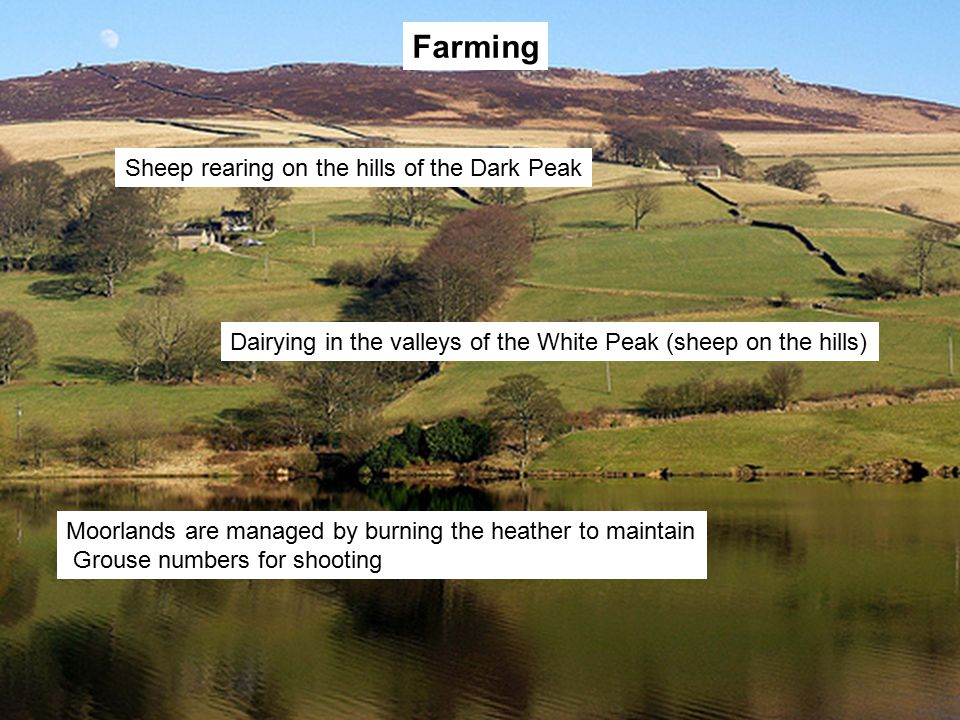 Farming Sheep rearing on the hills of the Dark Peak