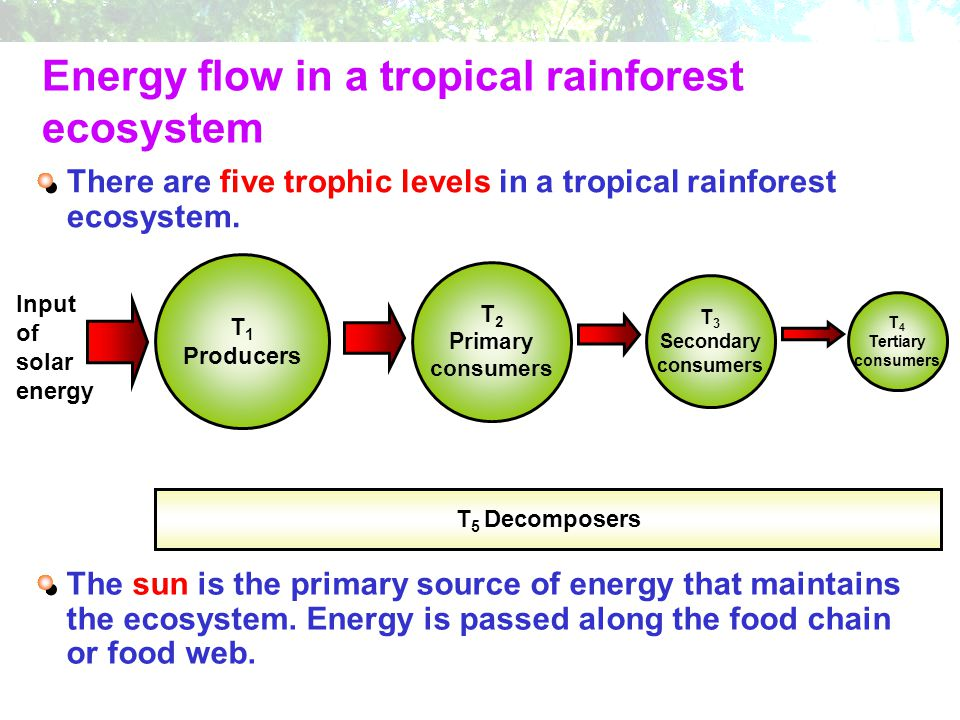 Energy flow in a tropical rainforest ecosystem